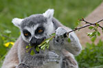 Durrell Zoo - Ring tailed lemur
