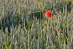 Villainville - Red poppy in the midst of green wheats at sunset