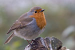 The Trossachs - Robin redbreast bird