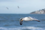Le Havre - Gull in flight