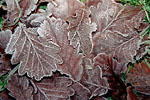 Rennes/parc Oberthür - Frosty oak leaves